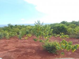 Dirección de Minería ha plantado en Pedernales 92 mil árboles en terrenos de extracción de Bauxita (4)